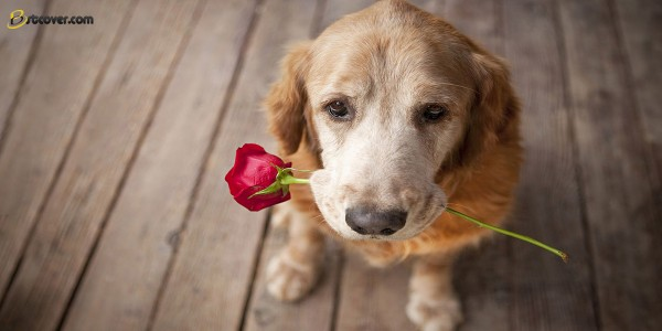 a-dog-with-a-red-rose-in-his-mouth-hd-dogs-backgrounds-animal